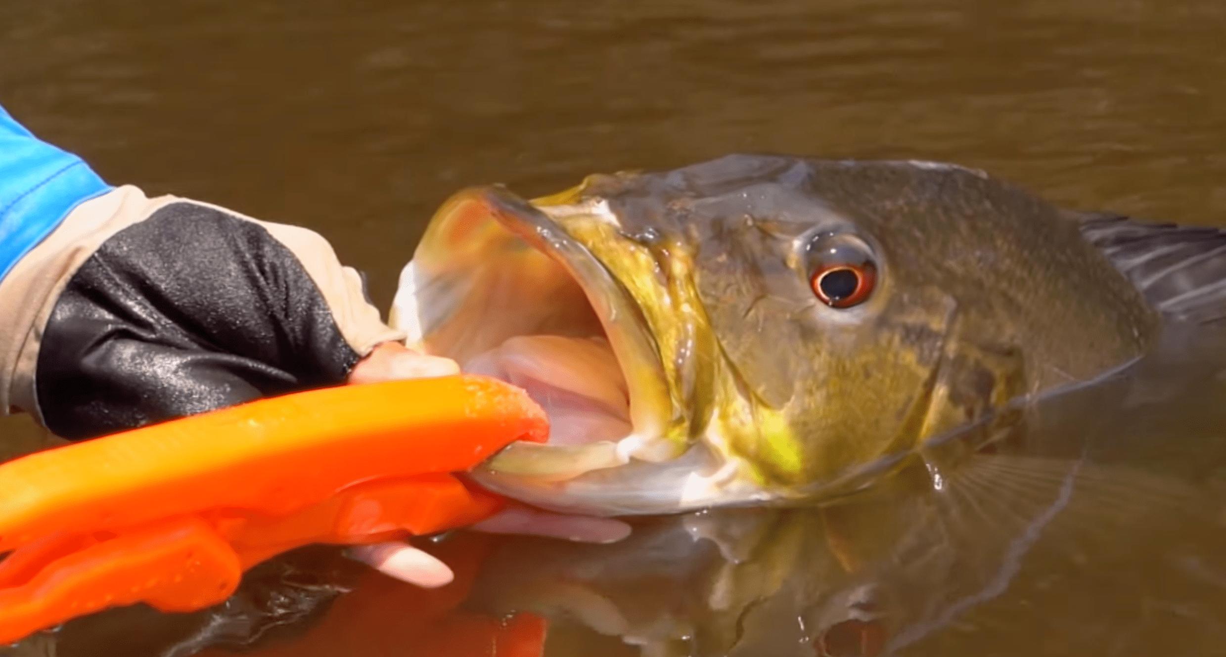 Belo exemplar fisgado em pesca amazônica