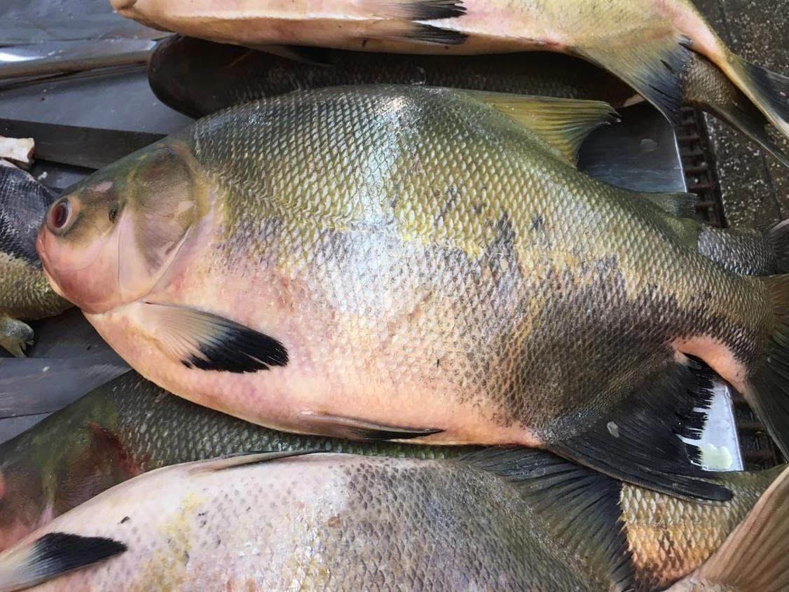 rês espécies de peixes podem estar causando surto na região Norte do país
