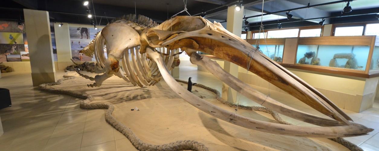 Ossada de baleia-jubarte, CECLIMAR