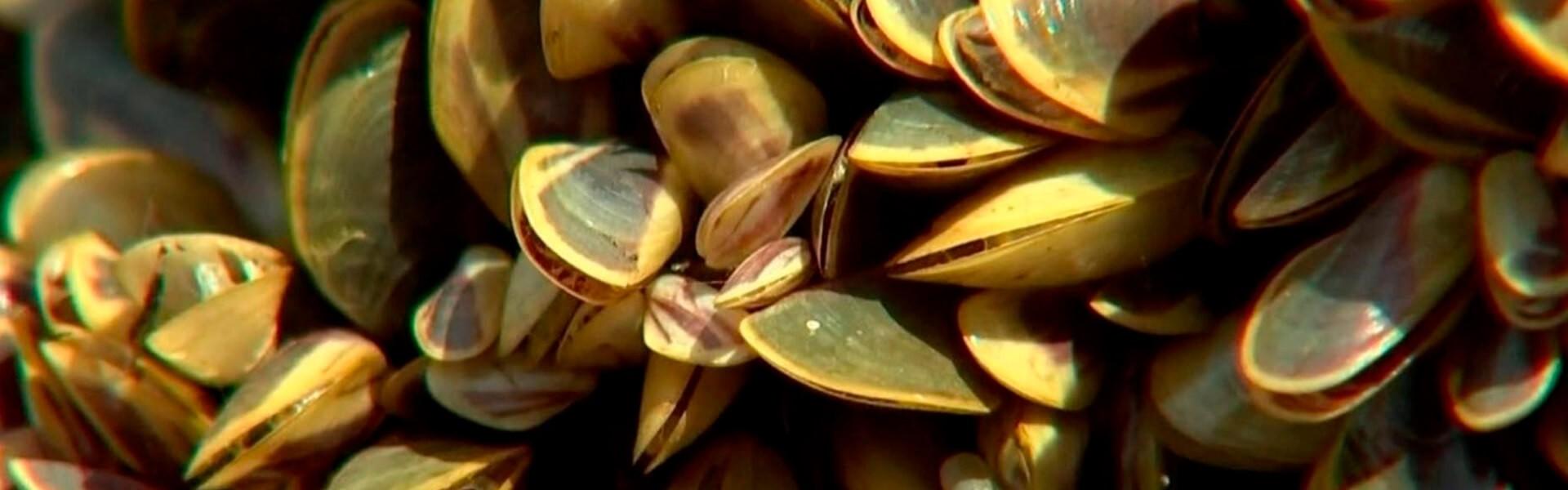 Mexilhão-dourado