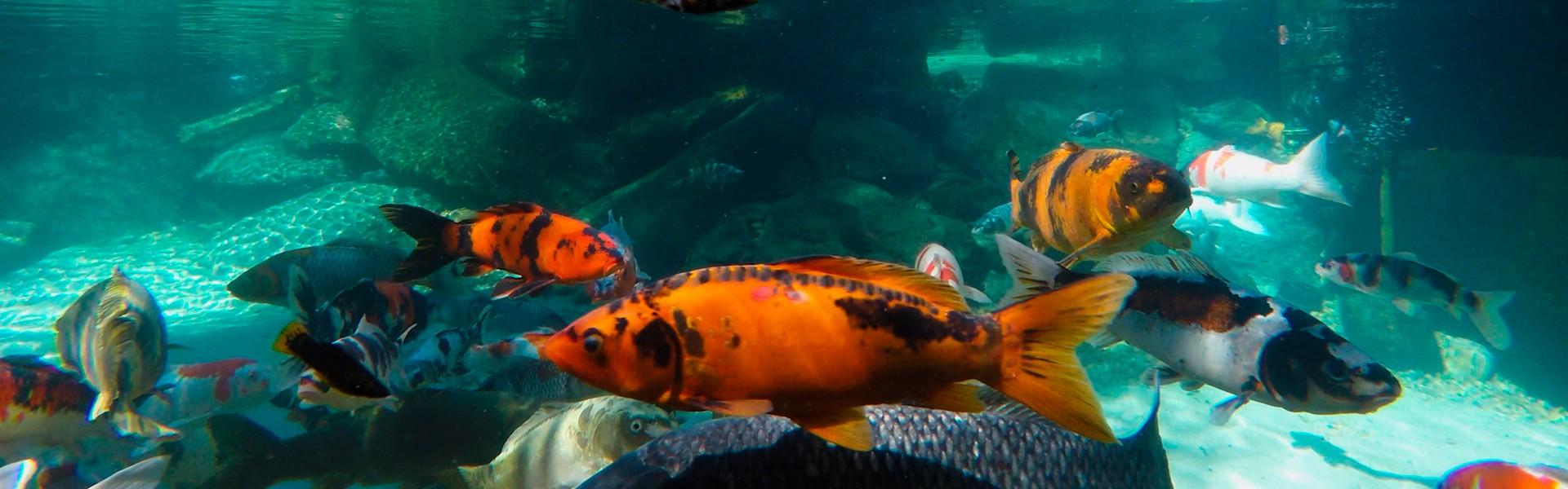 Curso de Criação e Reprodução de Peixes Ornamentais de Água Doce ocorre em São Paulo