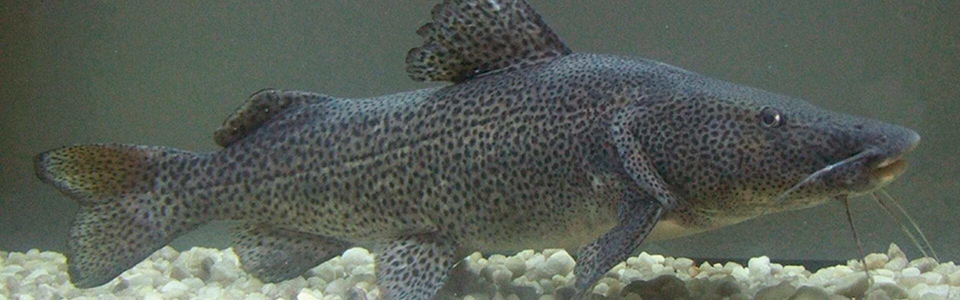 salvando peixes ameaçados