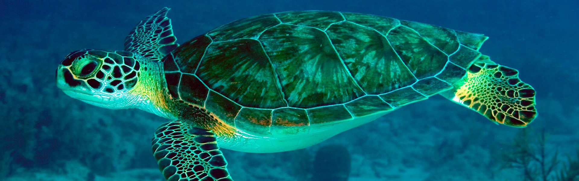 Entender o comportamento de tartarugas marinhas contribui para a preservação da espécie