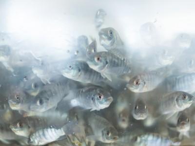 Peixe BR cria comitê para regularizar boas práticas de manejo sanitário