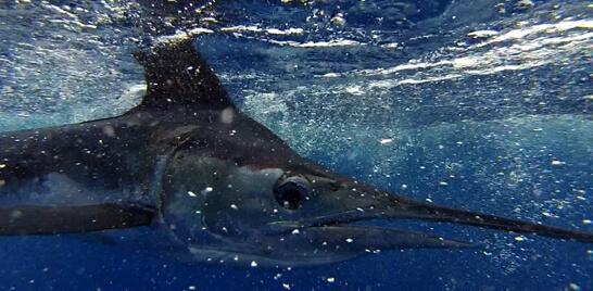 Peixes ameaçados de extinção são vendidos ilegalmente
