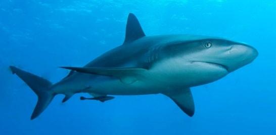 Perca o medo de tubarões