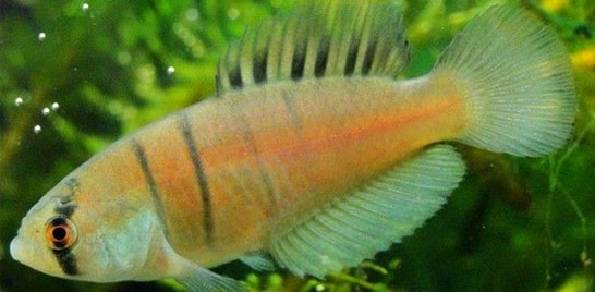 Nova espécie de peixe é descoberta no RS
