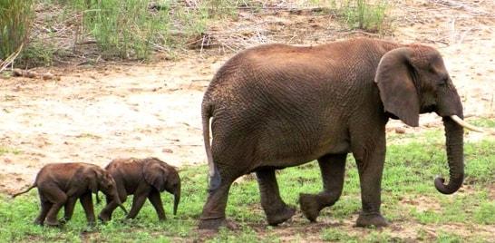 Elefantes gêmeos nascem em reserva sul-africana