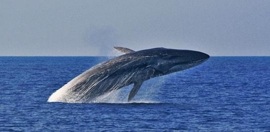 Baleia comum corre risco de desaparecer