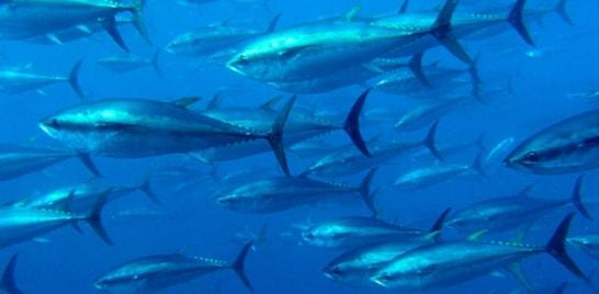 Atum-rabilho pode desaparecer