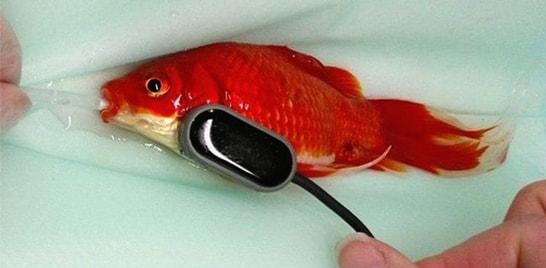 Homem paga R$1,2 mil por cirurgia de peixinho-dourado