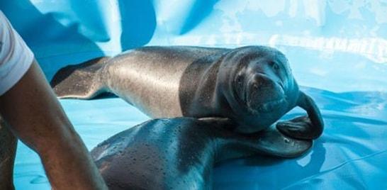 Peixes-boi reabilitados serão devolvidos à natureza
