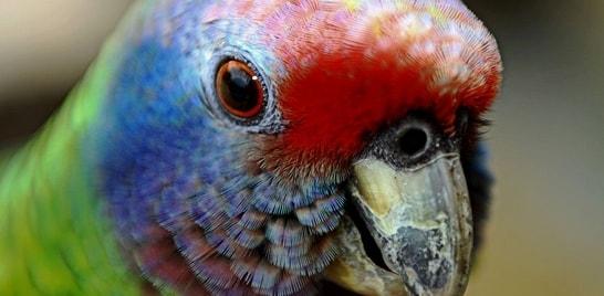 Papagaio de cara-roxa não está mais ameaçado de extinção