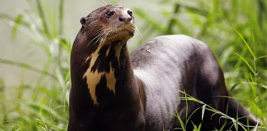 Espécies brasileiras em extinção: Ariranha