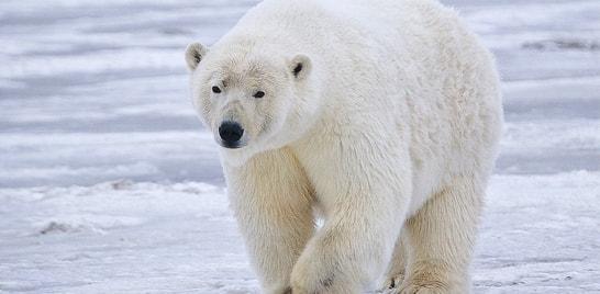 Ursos polares migram para ilhas no norte do Canadá