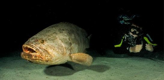 Pesquisadores e mergulhadores fazem mapeamento do peixe mero na costa brasileira