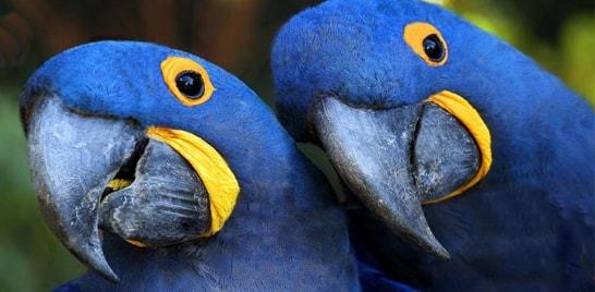 Arara-azul não está mais ameaçada de extinção