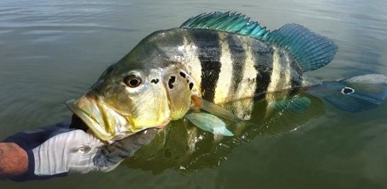 De olho no peixe: Tucunaré-azul