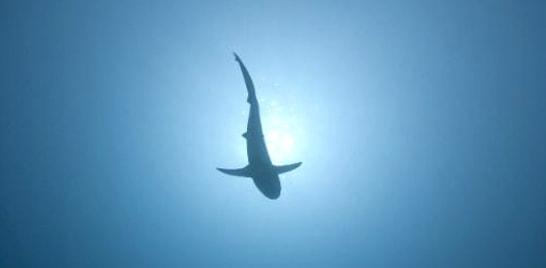 Menino de 12 anos fisga tubarão de 2,5 metros