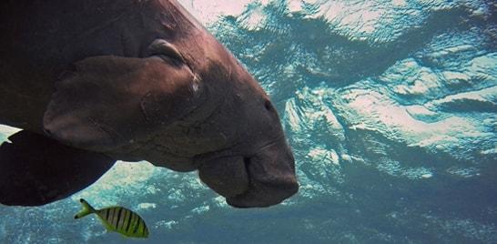 Dugongos estão ameaçados
