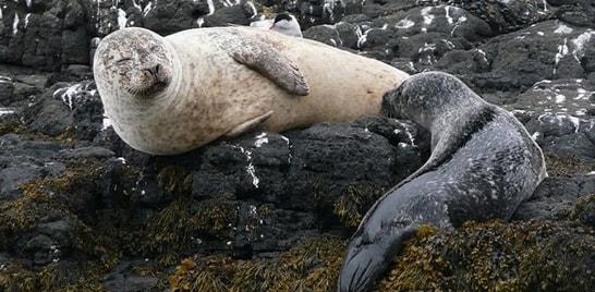 Focas canibais são apontadas como culpadas pela morte de animais no Mar do Norte