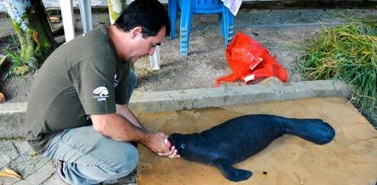 Filhote recém-nascido de peixe-boi é resgatado no Amazonas
