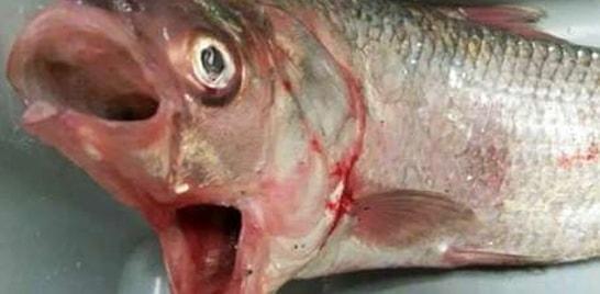 Peixe com duas bocas é capturado na Austrália