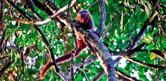 Descoberto novo primata na Amazônia