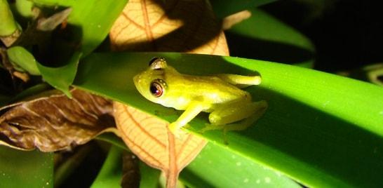 Anfíbio raro é encontrado no Rio Grande do Sul