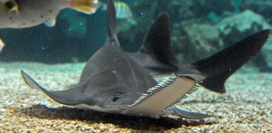 Peixes Estranhos: Peixe-serra