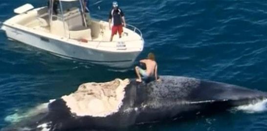 Australiano surfa em carcaça de baleia