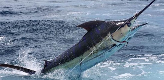 Marlim azul é declarado peixe-símbolo do Espírito Santo