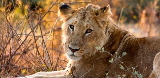 Urso polar, leão africano, tubarão-martelo e as raias podem estar em risco de extinção