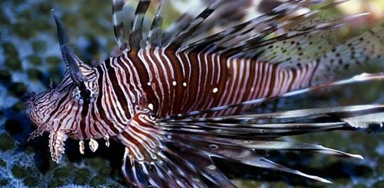 Peixe-leão: a ameaça continua