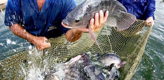 Piscicultura: tilápia muda a matriz de produção da piscicultura