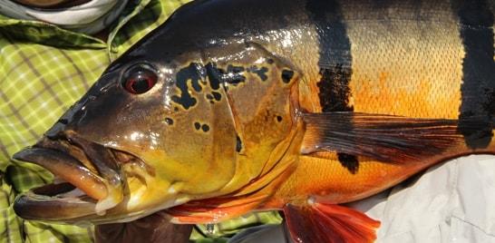 Escassez de tucunaré preocupa adeptos da pesca esportiva em Barcelos