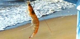 Épocas de defeso do camarão no Brasil