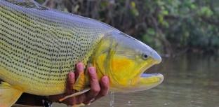 Mato Grosso do Sul realiza debate sobre proibição da pesca do dourado