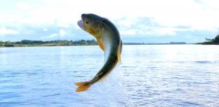 Proibição da pesca do dourado em MS passa por nova análise