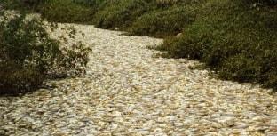 40 toneladas de peixes mortos são retiradas do córrego de Salto