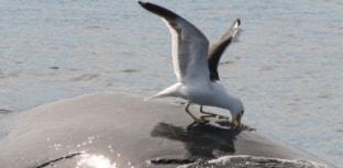 Baleias desenvolvem estratégia para evitar ataque de gaivotas