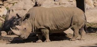 Morre rinoceronte de espécie em extinção