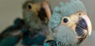 Registrado o nascimento de ararinhas-azuis no Brasil