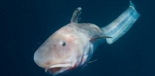 Peixes estranhos: Peixe Cabeça de Geléia
