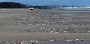 Oito toneladas de peixes mortos aparecem em praia de SP