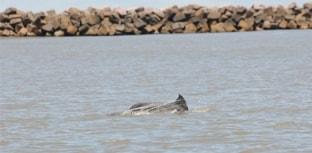 Boto é encontrado preso em rede de pesca no RS