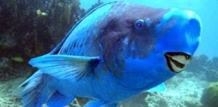 Peixes Estranhos: Papagaio-Azul