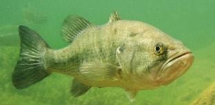 Black Bass em foco no Estado de Santa Catarina