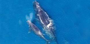 Espécies em extinção: Baleia-franca-do-atlântico-norte