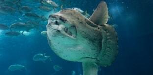 Peixes estranhos: Peixe-Lua